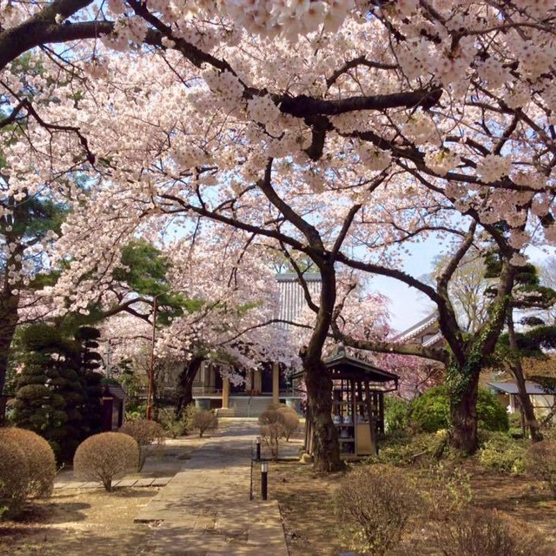 Saishiyoin, annual Kasukabe sakura spot photo