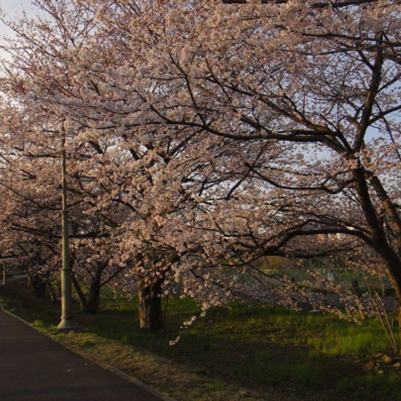 Early Hanami in Saitama photo