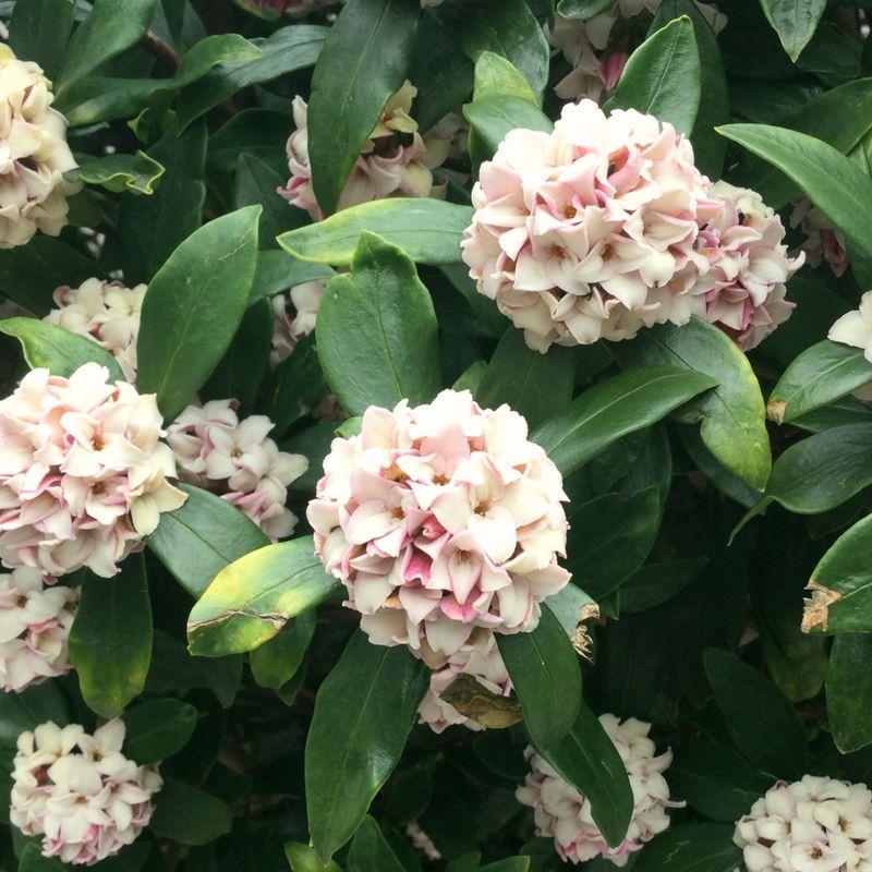Spring perfume, jinchoge  photo