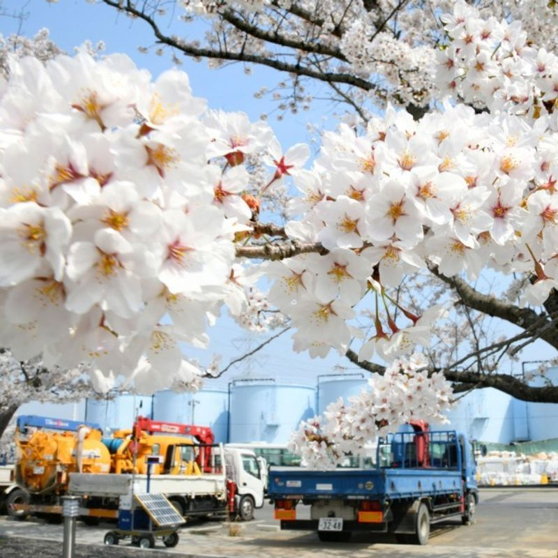 Cherry blossoms at Fukushima nuclear complex shown to media photo