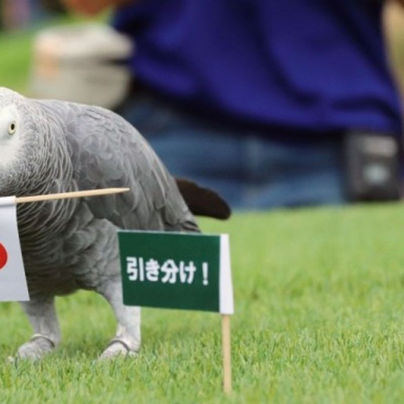 Soccer: Psychic parrot picks Japan to beat Australia photo
