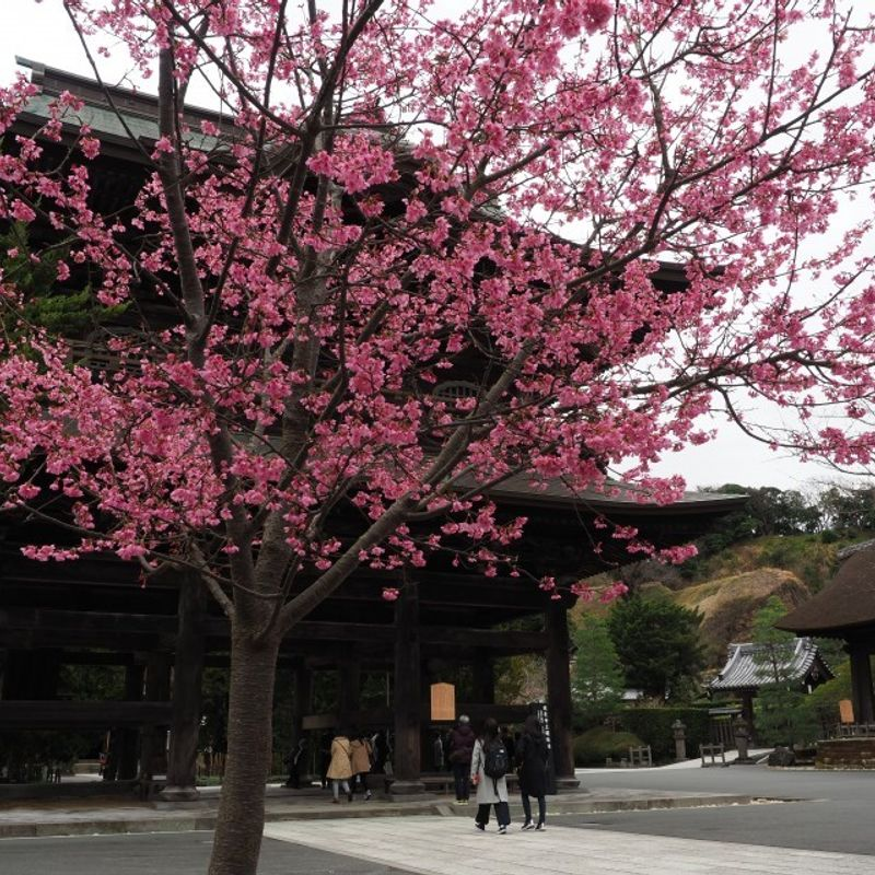 Japanese fundraising plan to bring cherry blossoms to U.K. photo