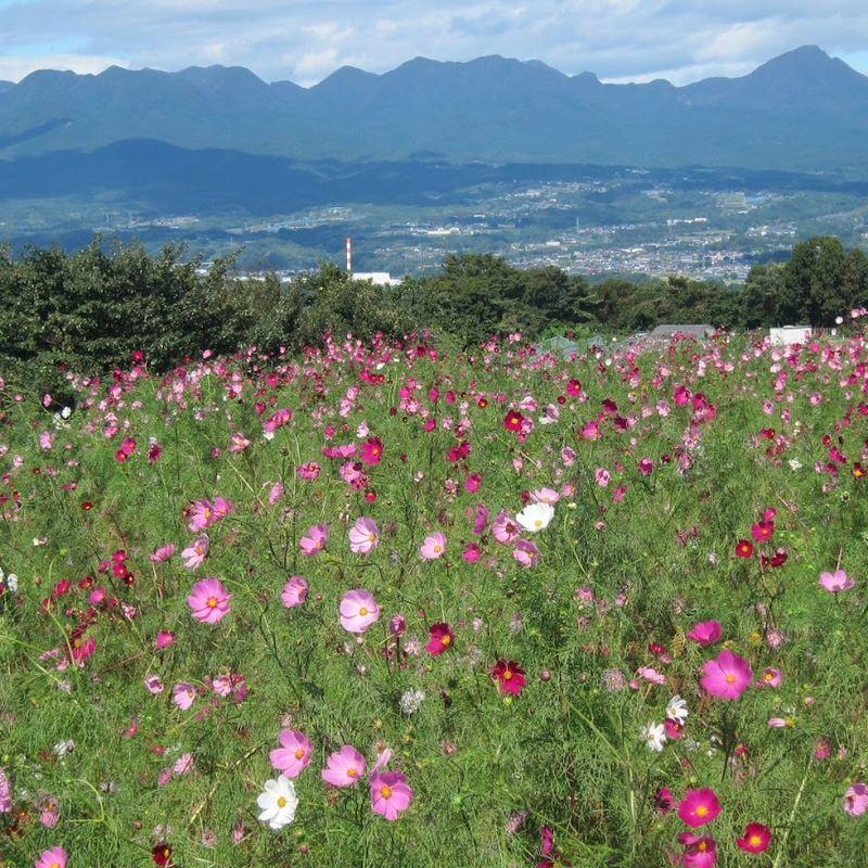 Cosmos Flower Festival in Takasaki photo