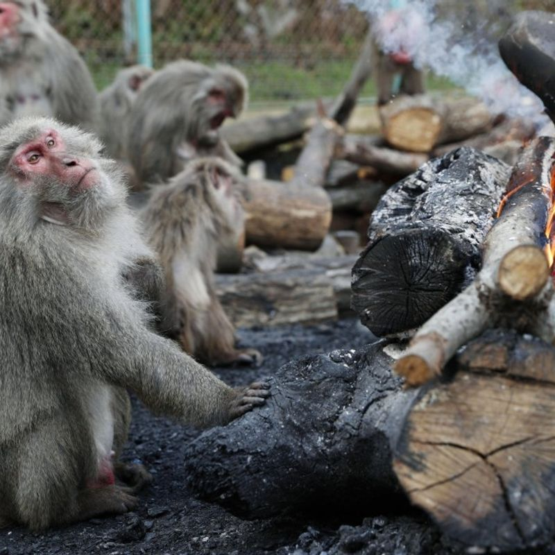Monkeys at Japan zoo greet cold winter with annual bonfire photo