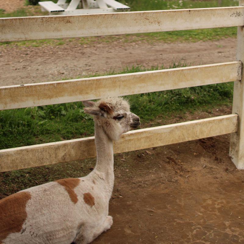 Alpaca farm at Nasu Kogen photo