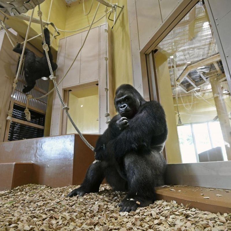 """Handsome gorilla"" gets new home at Nagoya zoo photo"