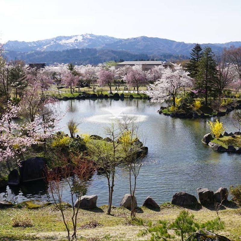Sakura are finally here  photo