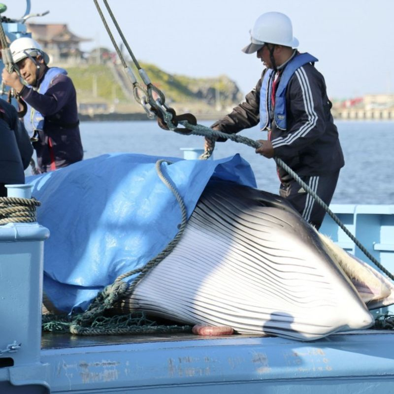 "Japan begins last round of ""research"" whaling off Pacific coast photo"