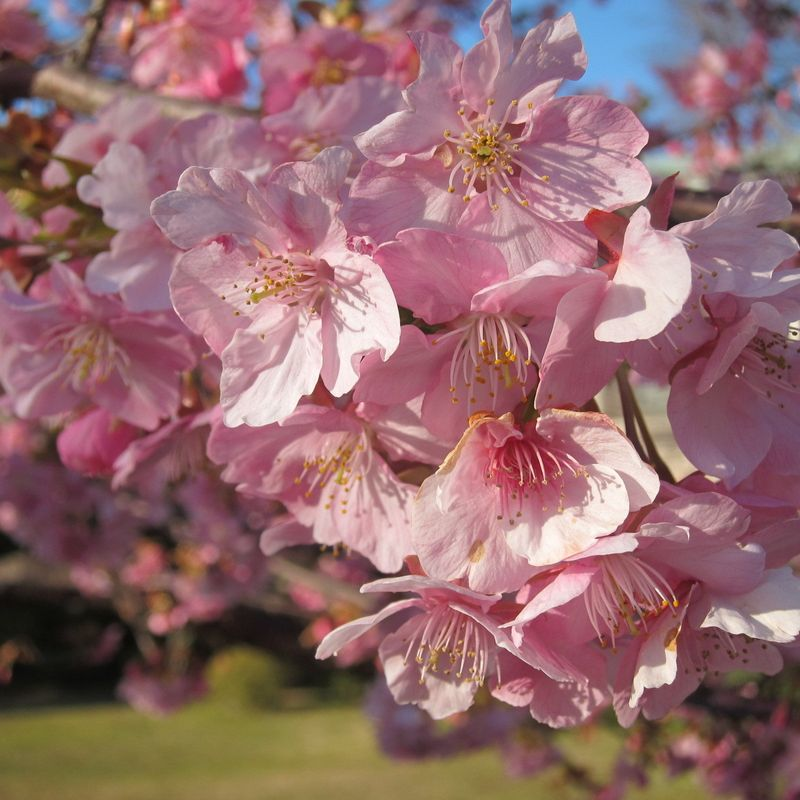 Cherry Blossom season already started with Kawazuzakura! photo