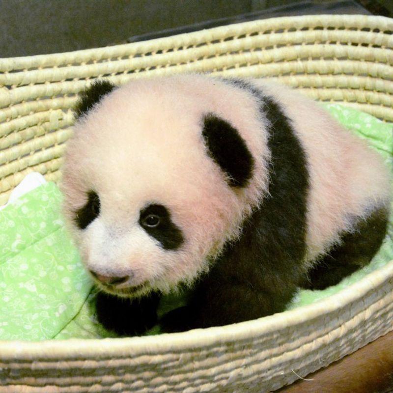 Giant panda cub born at Tokyo's Ueno zoo named Shan Shan photo