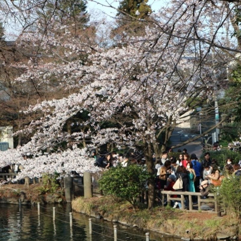 How to hanami: Pointers for the most Japanese of pursuits photo