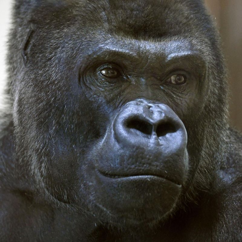 """Handsome"" gorilla makes species most popular at Japan zoo photo"