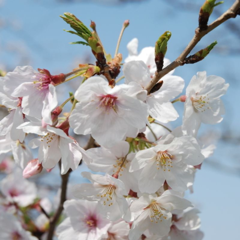 How to celebrate Hanami (Sakura viewing) in an authentic Japanese style? photo