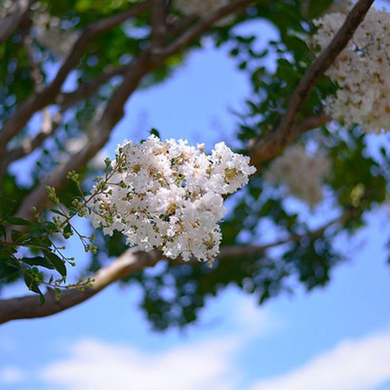夏の花、モンキースリップツリー photo