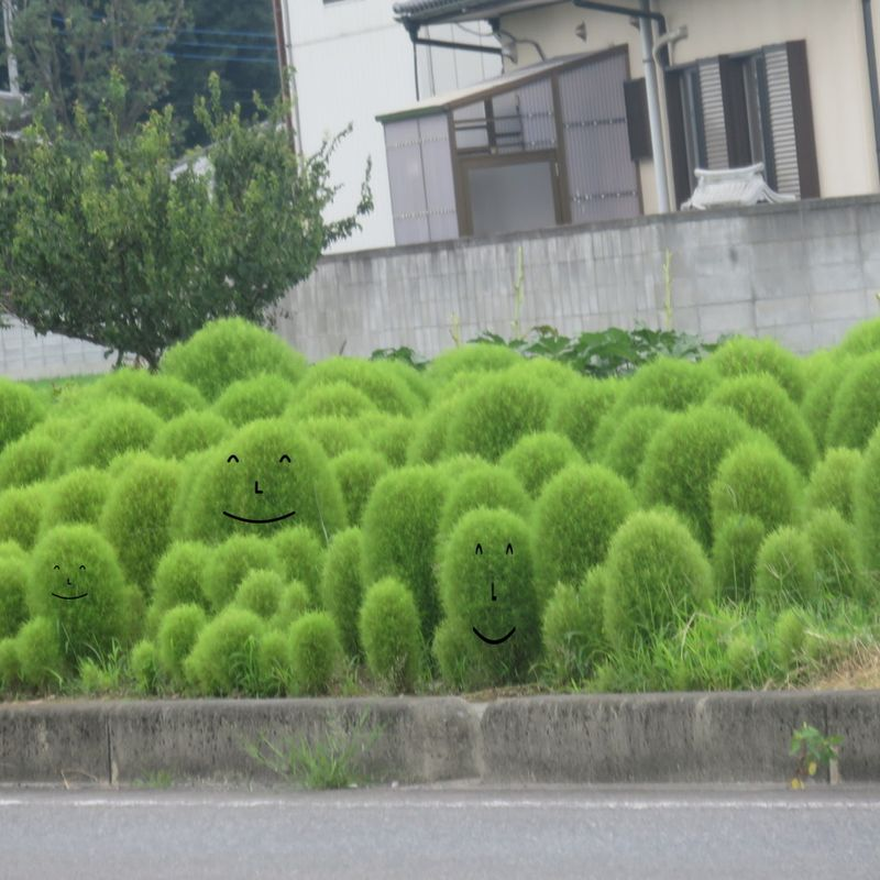 Weird fuzzy shrubbery :Kochia bush photo