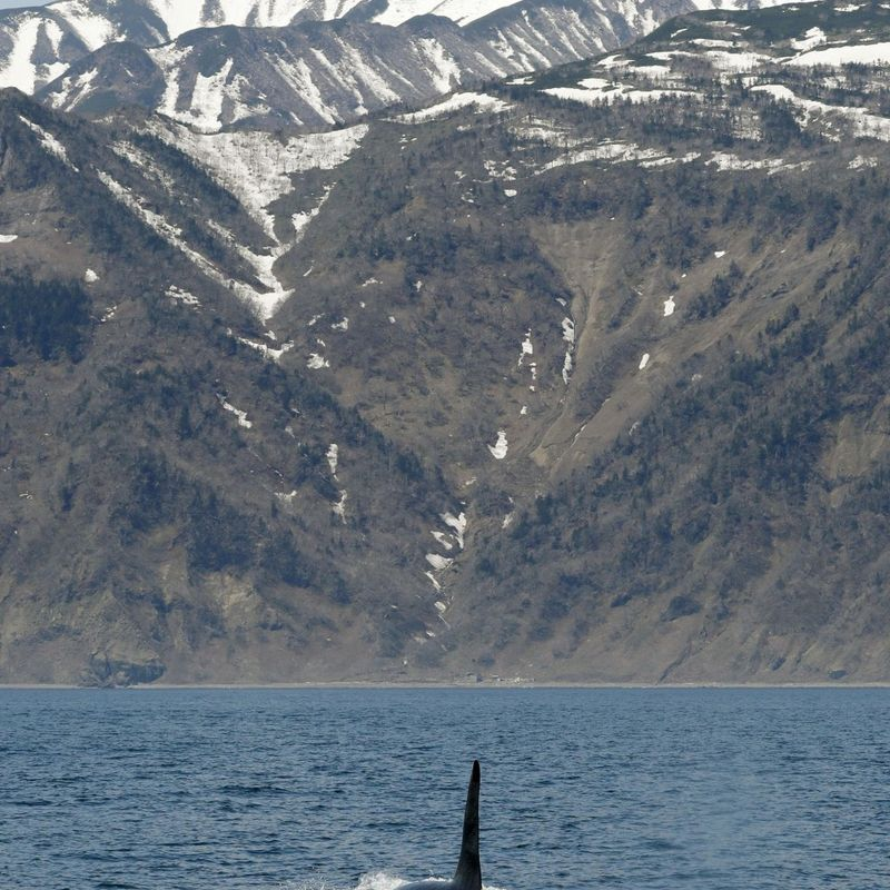 Killer whales put on show for tourists in Hokkaido's Shiretoko photo
