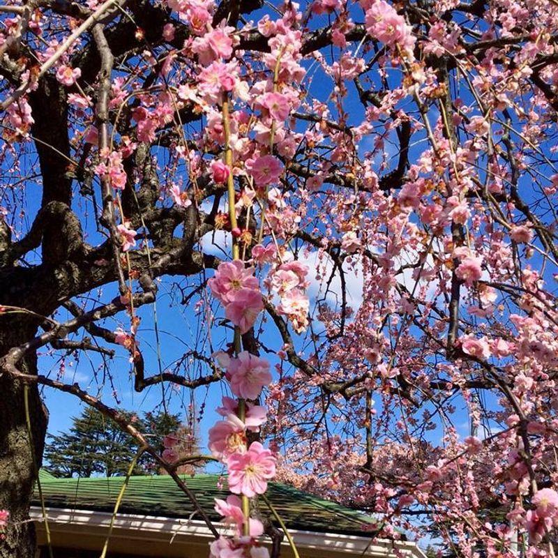 Plum blossoms! photo