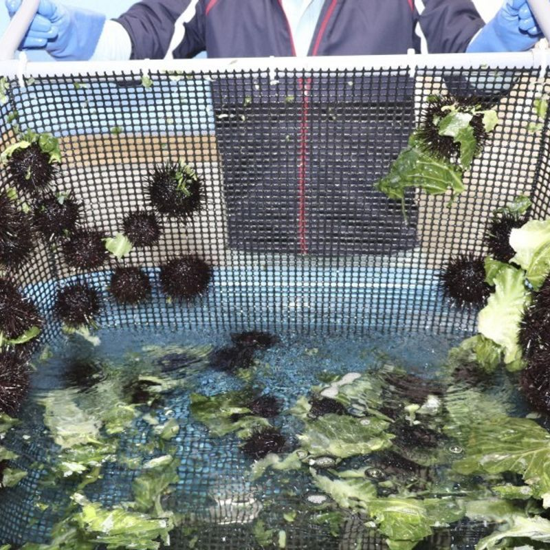Japanese city works on farming of sea urchins by cabbage waste photo