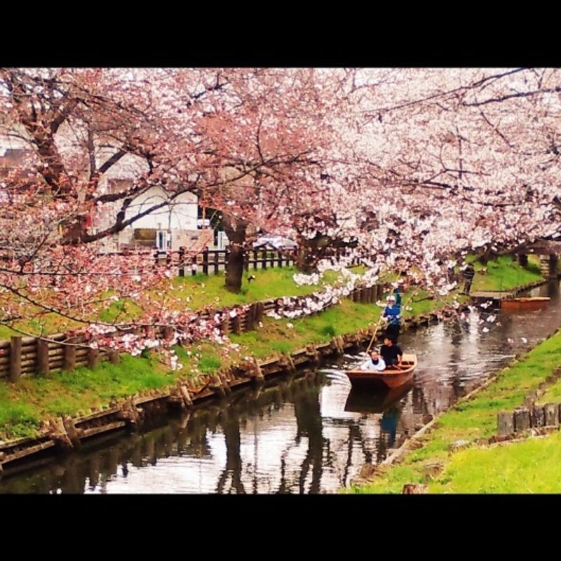 Hanami in the ancient town of Kawagoe photo