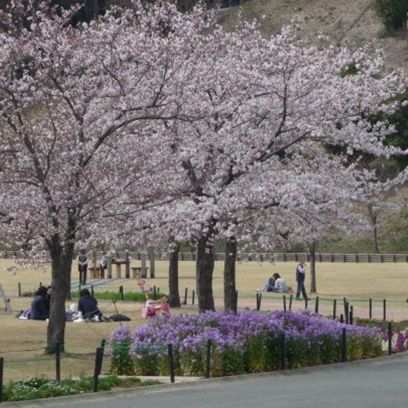 Hanami and Cherry Blossom in Gunma Prefecture photo