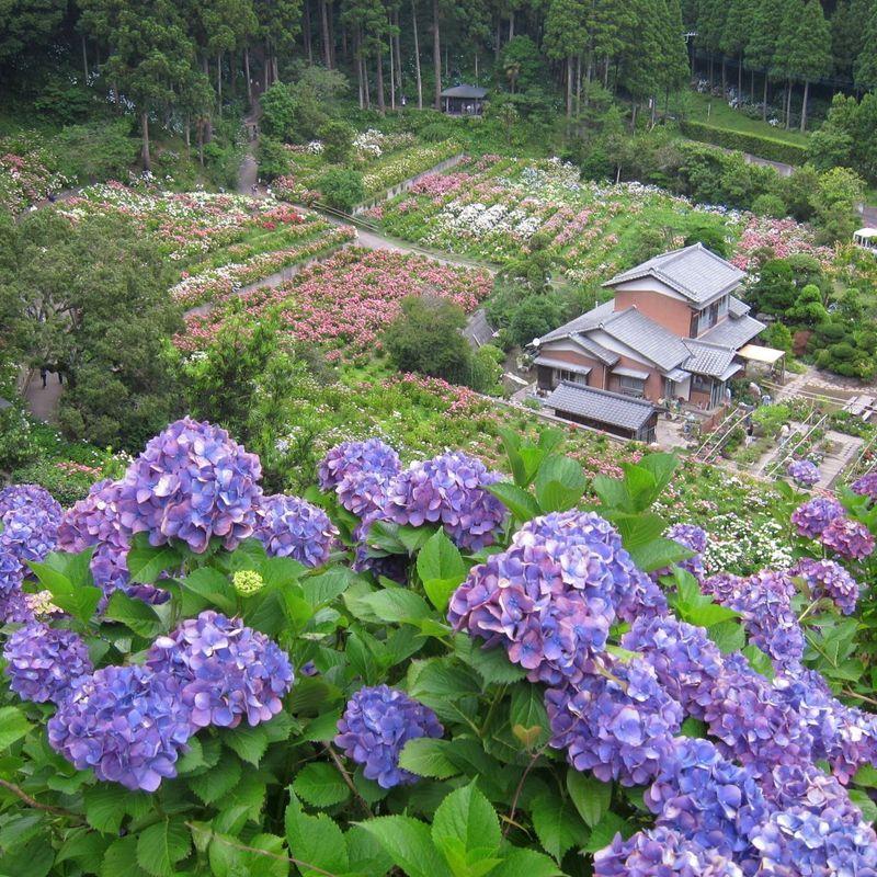 The Hattori Hydrangea Farm in Chiba photo