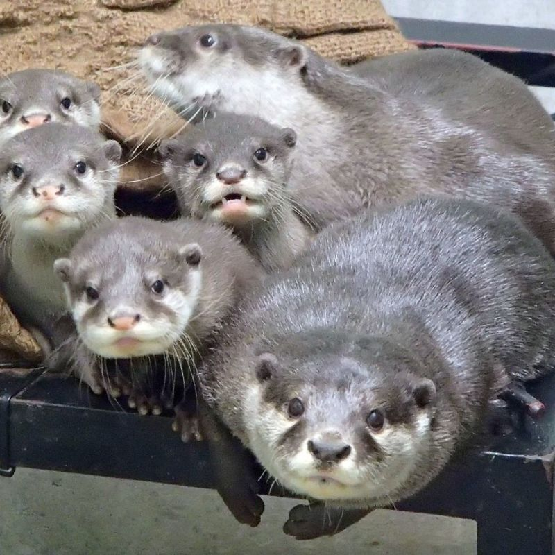 Popularity as pet likely behind growing smuggling of otters to Japan photo