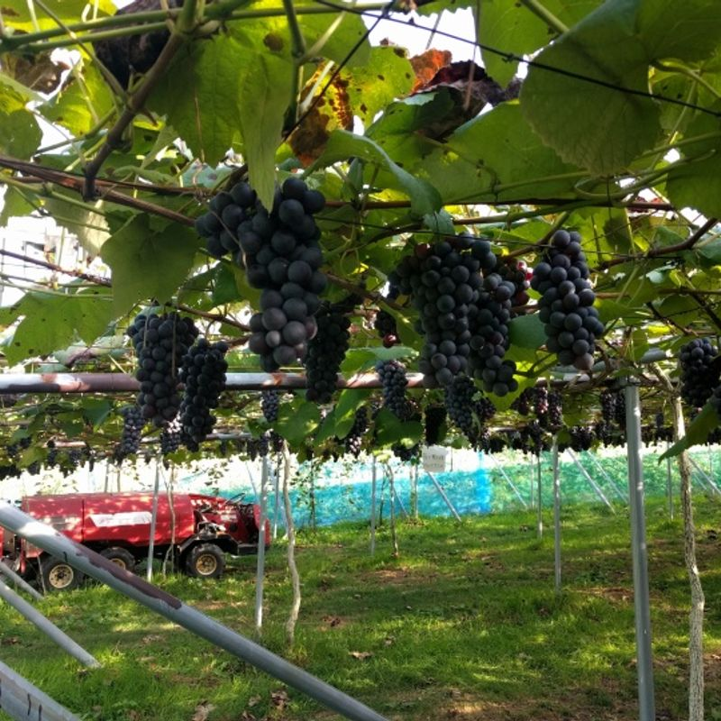 All You Can Eat Fruits - Grapes and more