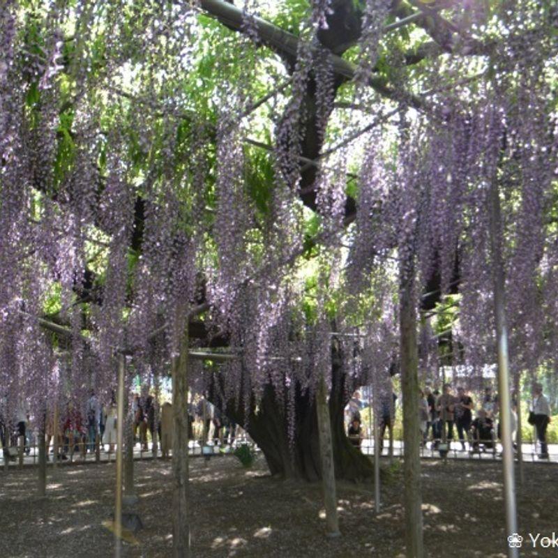 Golden Week: Three flower fields in bloom  photo