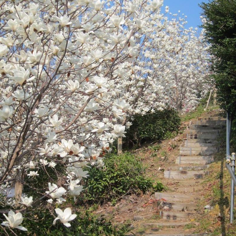 Magnolia festival in Fujieda (Shizuoka) photo