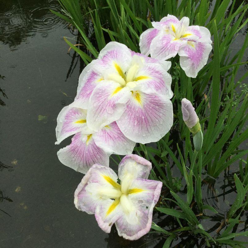Iris season  photo