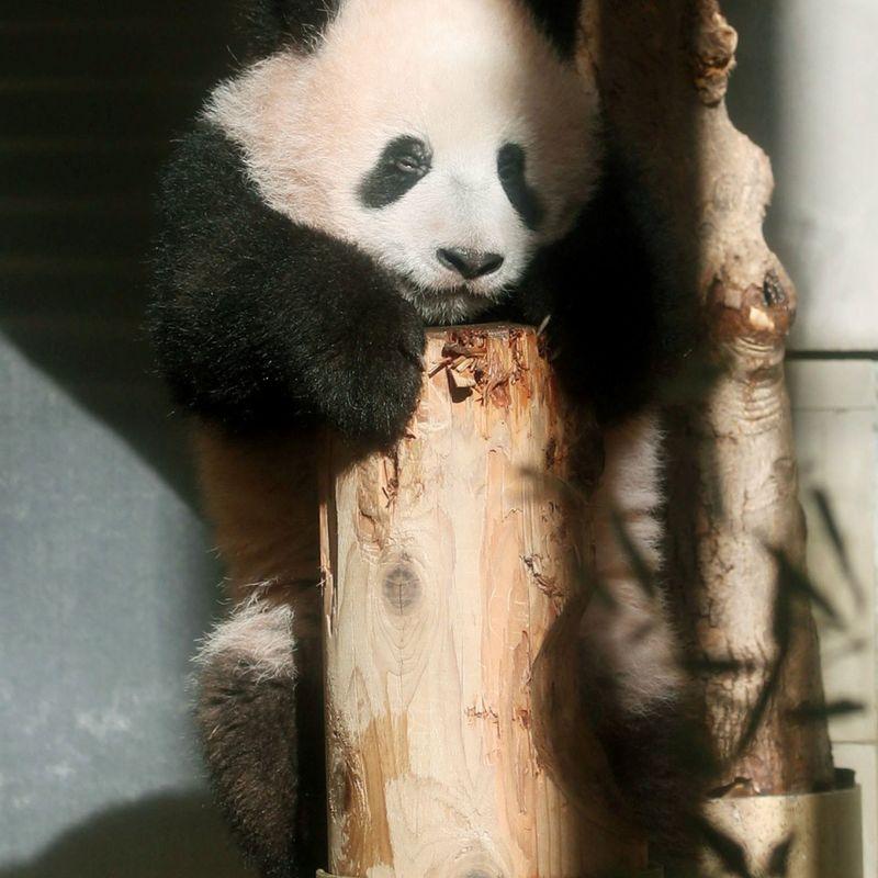 Giant panda cub makes debut in Tokyo photo
