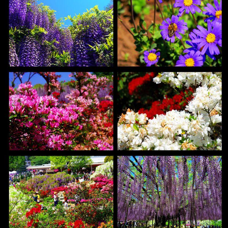 Flower Fever : Chichibu's Shibazakura vs. Ashikaga's Wisteria Story photo