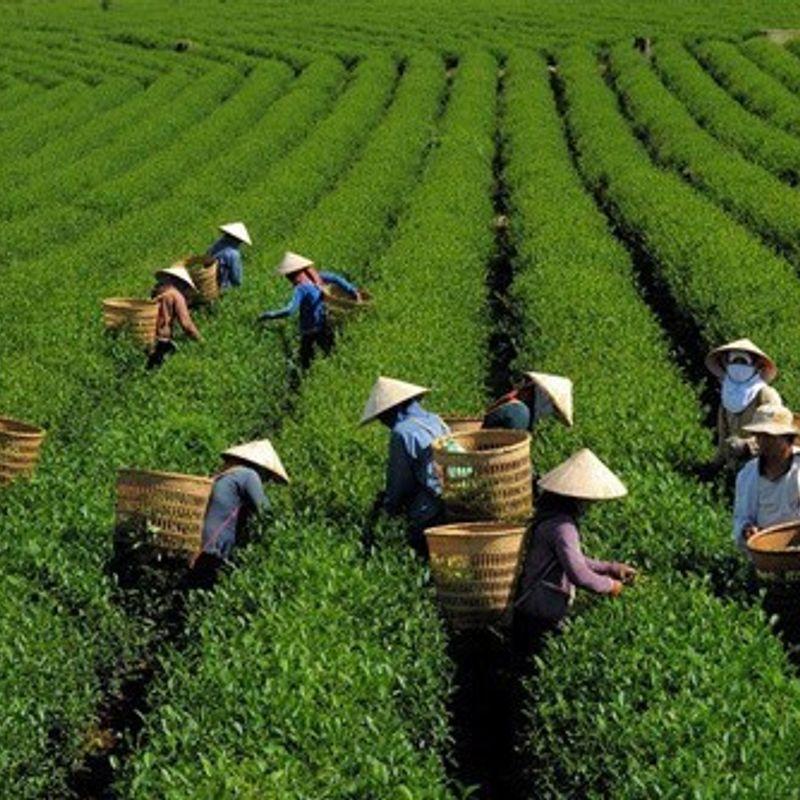 ベトナム茶と静岡茶 photo