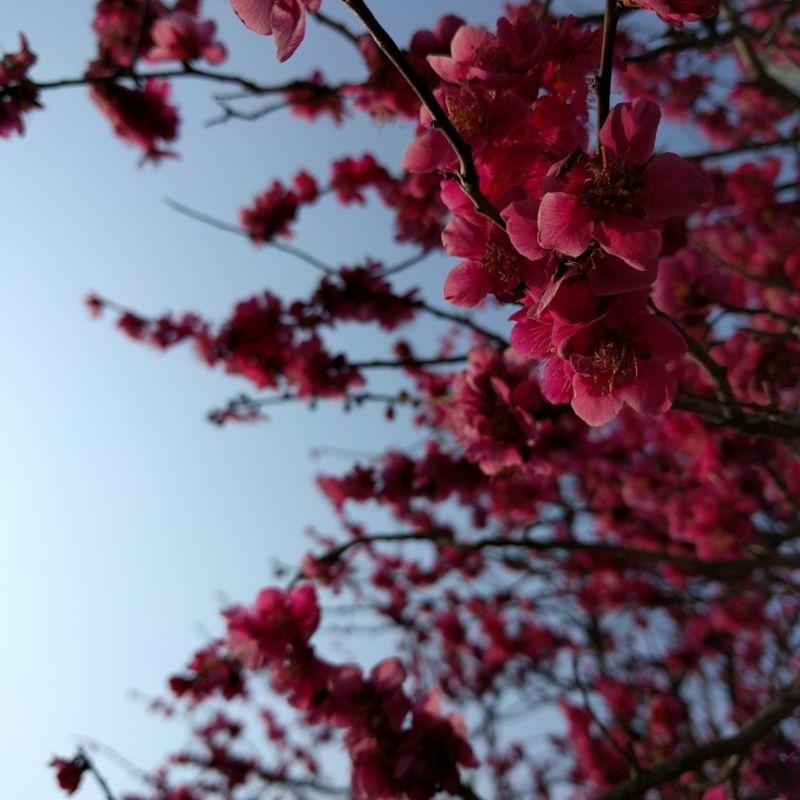 Is it Sakura or Ume? photo
