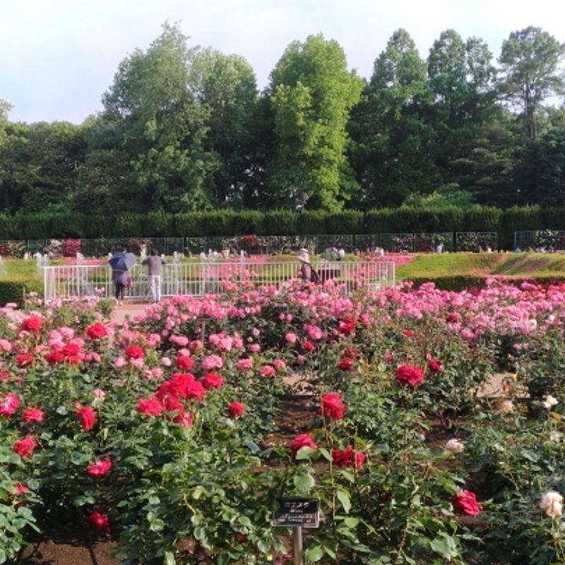 Spring Rose Festival in Chofu photo