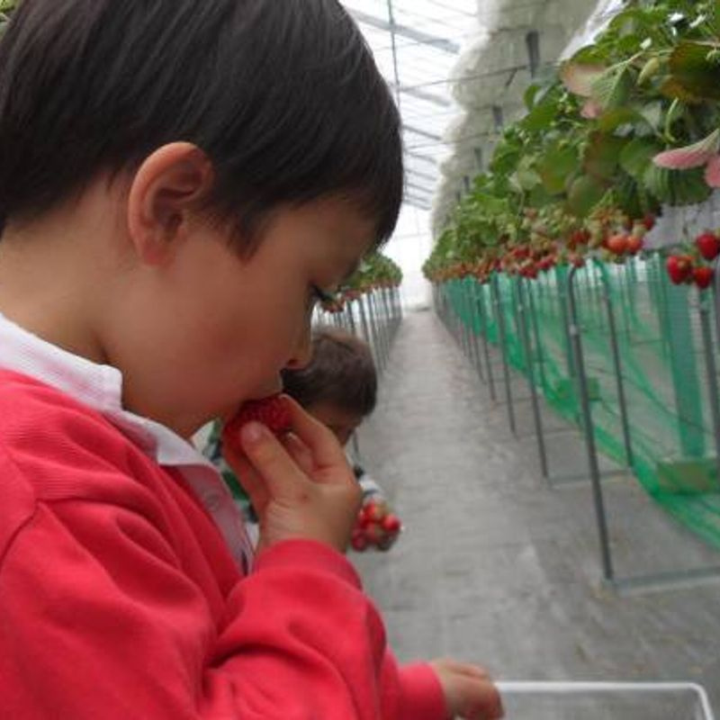 Strawberry Picking | Saitama photo