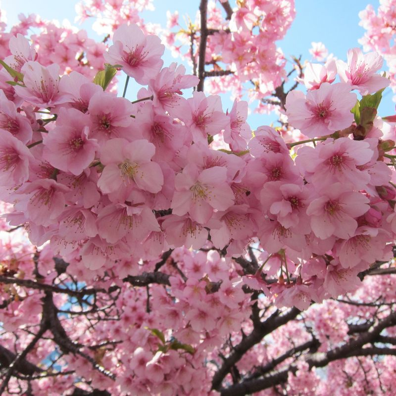 Early cherry blossom in Tokyo photo