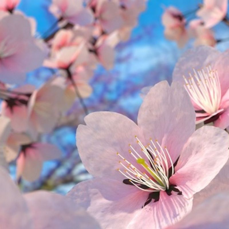 The best places for cherry blossom & 'hanami' in and around Tokyo photo