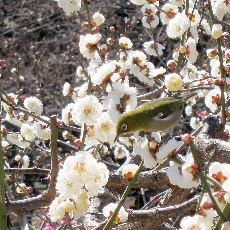 Plum Blossom Festival at Yushima Tenjin photo