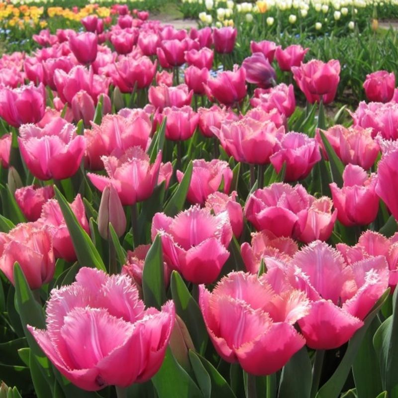 Tulipfields around Sakura City photo