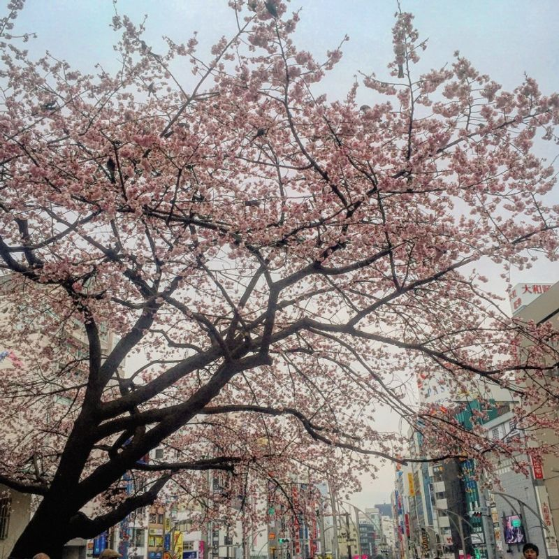 This is Not a Drill - Hanami Is Upon Us photo