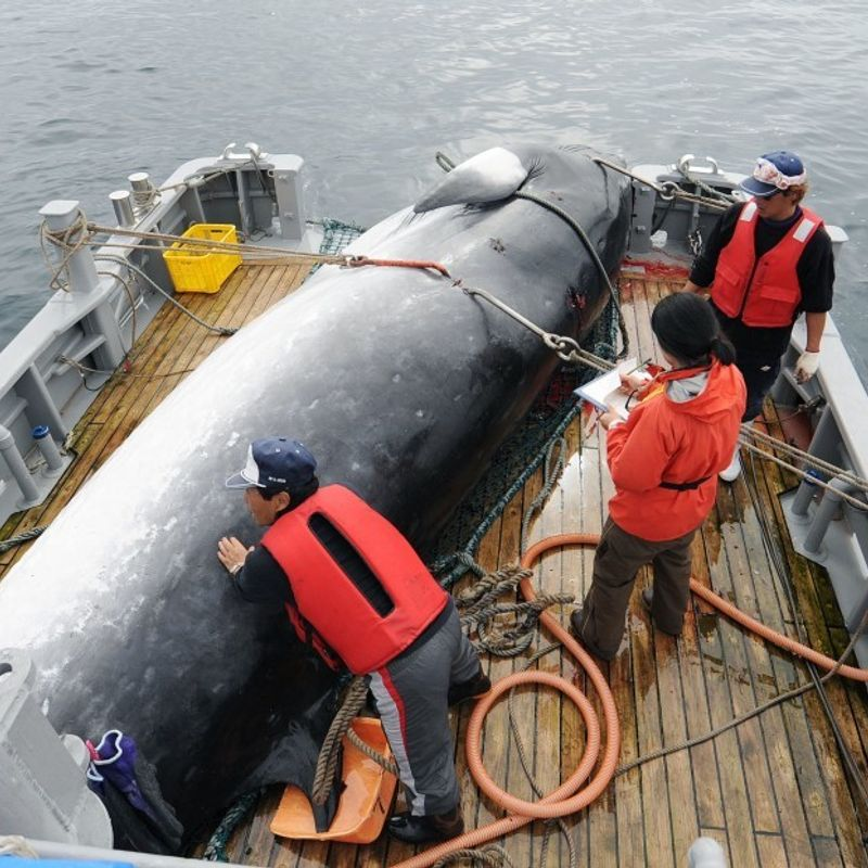 Japan to leave IWC, resume commercial whaling in July photo