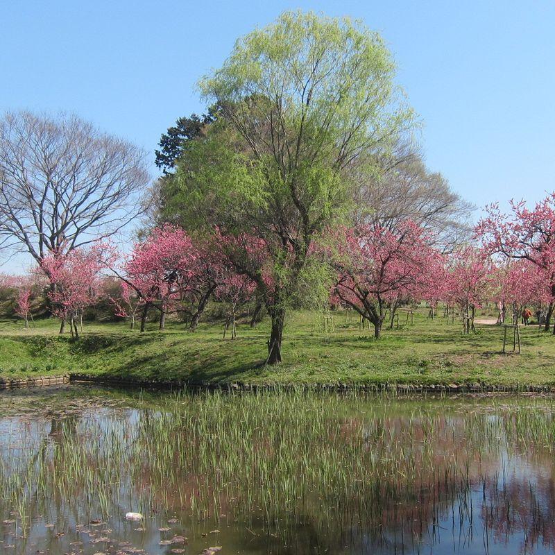 Peach Blossom Festival in Koga photo