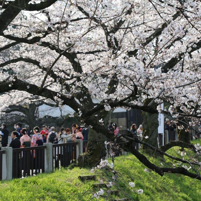 英国に桜をもたらす日本の募金活動 photo
