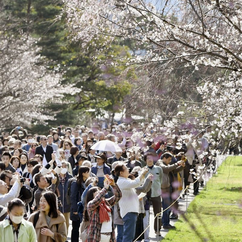 Imperial Palace grounds reopen to public for cherry blossom season photo