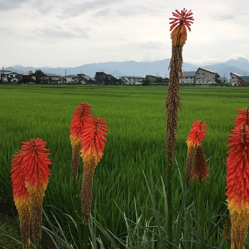 Rice fields through the seasons  photo