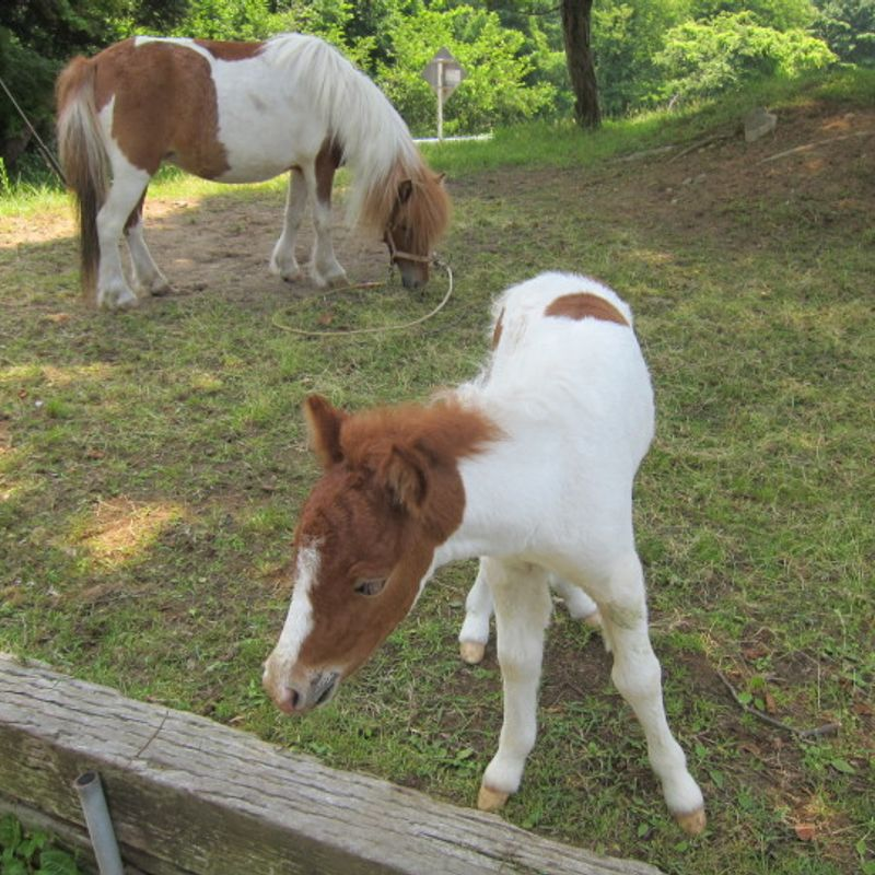 Horse Farm in Saku (Nagano) photo