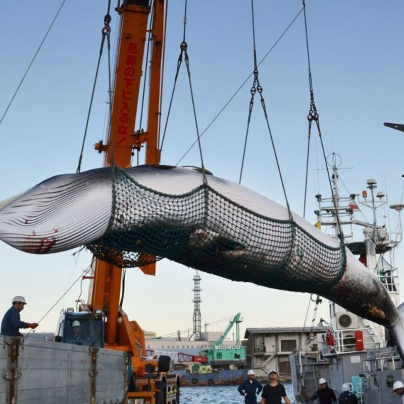Japan catches 177 whales in northwest Pacific photo