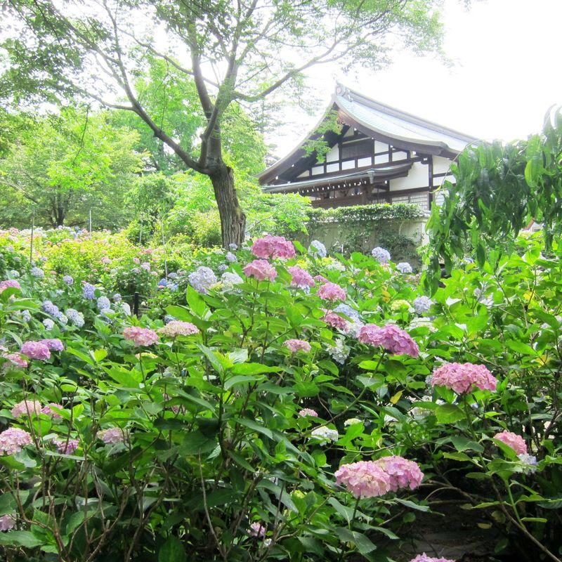 Hondoji Temple – the hydrangea paradise photo