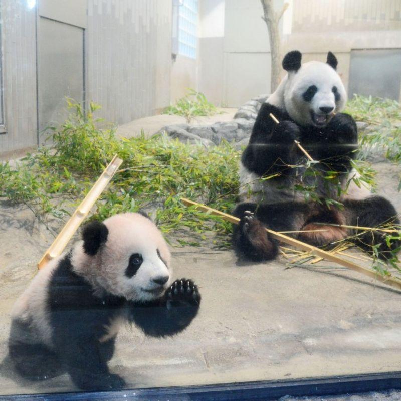 Tokyo-born panda cub to be put on display next month at Ueno Zoo photo